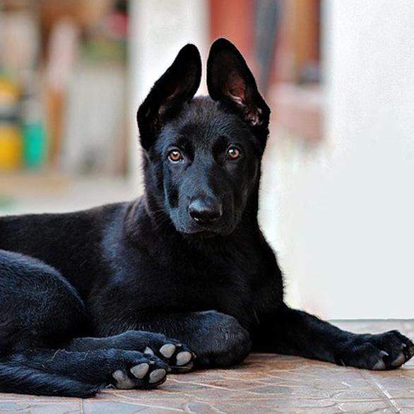 black german shepherd 2978323 640 1