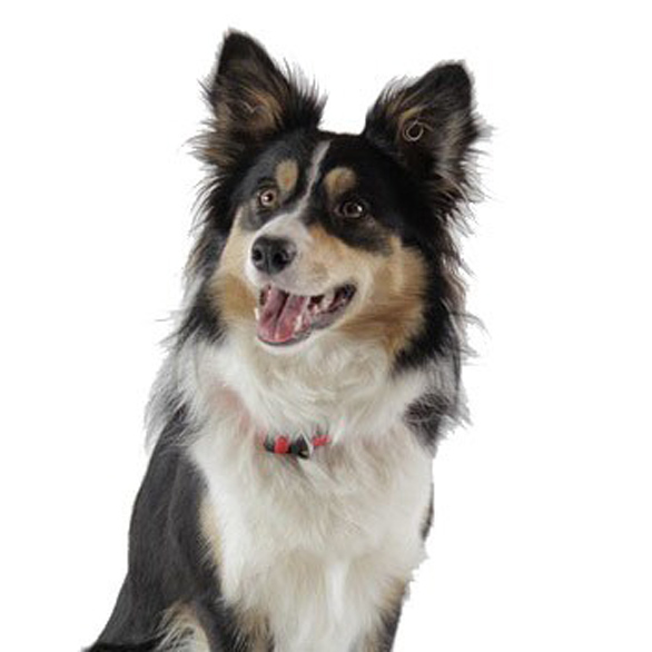 border collie 526761 640 medium 2