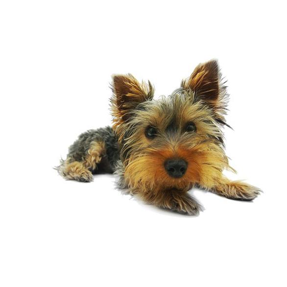 yorkshire terrier 790361 640 mini 1